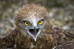 Toed Eagle. Circaetus gallicus Stock Image
