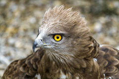 Toed Eagle. Circaetus gallicus Stock Photography