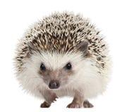 toed hedgehog atelerix 4 albiventris Стоковая Фотография RF