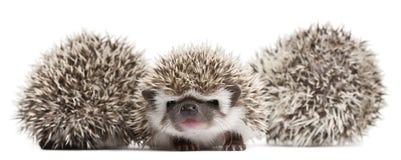 toed hedgehogs atelerix 4 albiventris Стоковое Фото