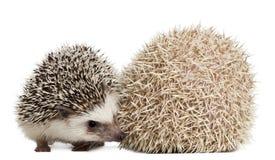 toed hedgehogs atelerix 4 albiventris Стоковая Фотография RF