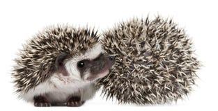 toed hedgehogs atelerix 4 albiventris Стоковые Изображения RF