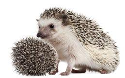 toed hedgehogs atelerix 4 albiventris Стоковое Изображение RF