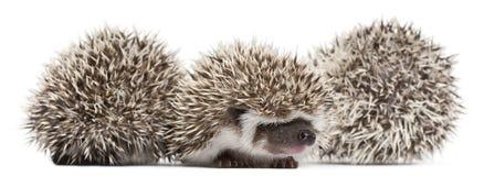 toed hedgehogs atelerix 4 albiventris Стоковые Изображения