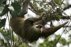 2 toed sloth Stock Images