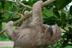 toed sloth tre Fotografering för Bildbyråer