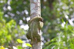 toed sloth tre Arkivbild
