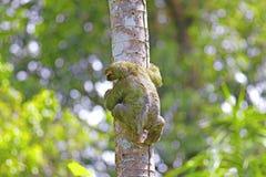 toed sloth tre Royaltyfri Fotografi