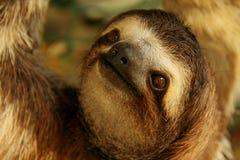 toed sloth tre Royaltyfri Foto
