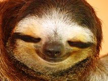 toed sloth tre arkivfoton