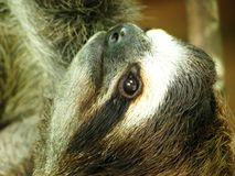 toed sloth tre royaltyfria bilder