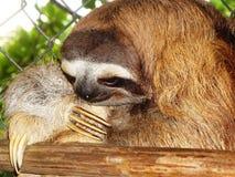 toed sloth tre arkivfoto