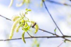 Toegenomen bloeiend bloeiwijzen mannelijk bloeiend katje of ament op een alba witte wilg van Salix in de vroege lente vóór de bla stock fotografie