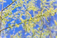 Toegenomen bloeiend bloeiwijzen mannelijk bloeiend katje of ament op een alba witte wilg van Salix in de vroege lente vóór de bla royalty-vrije stock foto's