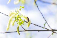 Toegenomen bloeiend bloeiwijzen mannelijk bloeiend katje of ament op een alba witte wilg van Salix in de vroege lente vóór de bla royalty-vrije stock afbeeldingen