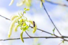 Toegenomen bloeiend bloeiwijzen mannelijk bloeiend katje of ament op een Salix alba (witte wilg) in de vroege lente vóór de blade stock afbeelding