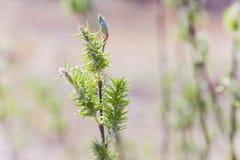 Toegenomen bloeiend bloeiwijzen vrouwelijk bloeiend katje of ament op alba witte wilg van Salix in de vroege lente vóór de blader stock foto's