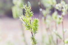 Toegenomen bloeiend bloeiwijzen vrouwelijk bloeiend katje of ament op alba witte wilg van Salix in de vroege lente vóór de blader stock afbeelding