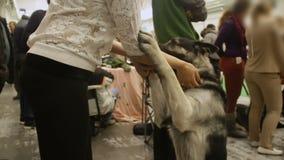 Toegewijde Duitse herderhond die aan het bevel van de eigenaar luisteren en poten, huisdier geven stock video