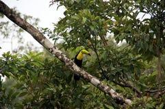 Toekan - Costa Rica America stock afbeelding