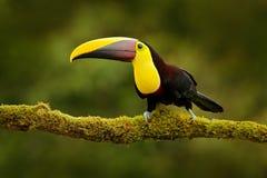 Toekan in de aard Achterzonlicht Chesnut-Mandibled Toekanzitting op de tak in tropische regen met groene wildernisachtergrond stock afbeelding