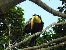Toekan die een jeuk, Costa Rica krassen stock foto