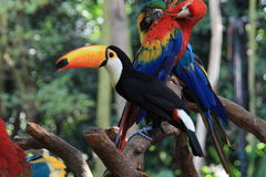 Toekan en papegaaien Stock Foto's