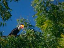 Toekan in Pantanal in Brazilië stock foto's