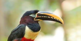Toekan in profiel in Ecuatoriaans Amazonië wordt gezien dat Gemeenschappelijke namen: Pichilingo stock afbeelding