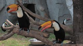 Toekannen die op de tak bij de dierentuin zitten Kiel-gefactureerde Toekan, vogel met grote rekening Ramphastossulfuratus stock video