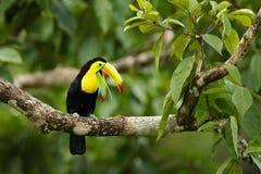 Toekanzitting op de tak in het bos, Panama, Zuid-Amerika Aardreis in Midden-Amerika Kiel-gefactureerde Toekan, Ramphasto royalty-vrije stock fotografie