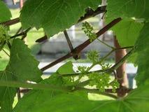 Toekomstige clasters van druiven royalty-vrije stock afbeeldingen