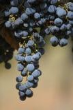 Toekomstige wijn Royalty-vrije Stock Afbeelding