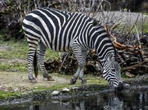 Toelage` s zebra bij het water geven van vijver Stock Fotografie