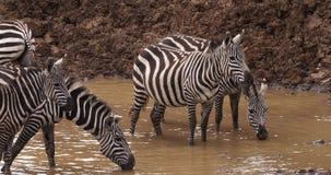 Toelage` s Zebra, boehmi van equusburchelli, Kudde bij waterhole, het Park van Nairobi in Kenia, stock footage