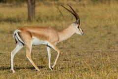 Toelagengazelle Ram Walking Royalty-vrije Stock Foto's