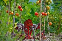 Toenemende cultuur, salade en Tomaten Royalty-vrije Stock Afbeeldingen