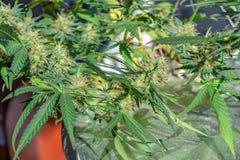 Toenemende cultuur van medische rijpe cannabismarihuana thuis onder kunstmatige verlichting Royalty-vrije Stock Afbeelding