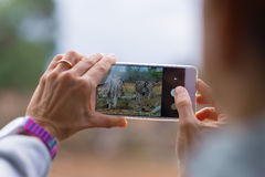 Toerist die foto met smartphonekudde nemen van Zebras in de struik Het wildsafari in het Nationale Park van Kruger, reisbestemmin Royalty-vrije Stock Foto