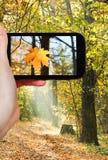 Toerist die foto van esdoornblad nemen in de herfsthout Royalty-vrije Stock Afbeeldingen