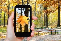 Toerist die foto van esdoornblad nemen in de herfstpark Stock Foto's