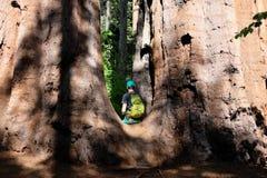 Toerist die met rugzak onder sequoiacalifornische sequoia's wandelen Stock Foto