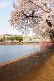 Toeristen die Beelden van Cherry Blossoms nemen royalty-vrije stock afbeeldingen