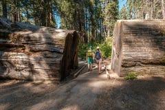 Toeristen die met rugzak onder sequoiacalifornische sequoia's wandelen Stock Afbeeldingen