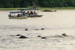 Toeristen die op hippos letten stock fotografie