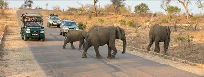 Toeristen die op olifanten in het Nationale Park van Kruger letten stock foto's