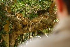 Toeristen observs leeuwen op een boom Stock Afbeeldingen