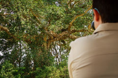 Toeristen observs leeuwen op een boom Stock Afbeelding