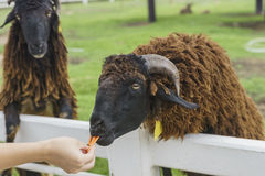 toeristen voedende schapen met carot Stock Afbeelding