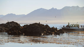 Toeristenjacht in een kolonie van zeeleeuwen. Royalty-vrije Stock Afbeelding
